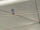 Havalimanı'nda 'papağan' kovalamacası