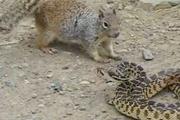 Aç sincap, yılana saldırınca...