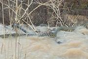 Manisa'da görülen 4 metrelik yılan korkuttu