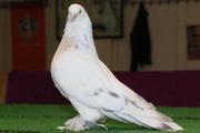 Bu güvercinin fiyatı dudak uçuklatıyor!