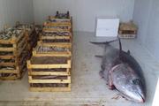Tonlarca bayat balığı halka yedireceklerdi