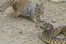 Aç sincap zehirli yılana saldırırsa...