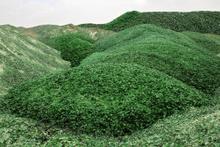 Bu yeşil tepe çimen değil! Çok şaşıracaksınız