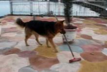 Yerleri süpüren köpek herkesi şaşırtıyor