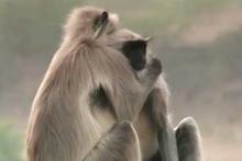 Ölen robot maymun için yas tutan maymunlar