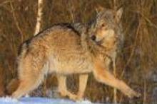 Çernobil hayvanlar için cennet oldu