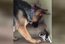 Merdivenden çıkamayan minik kediye yardım eden köpek