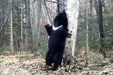 BBC'den kaşınan ayılara eğlenceli klip
