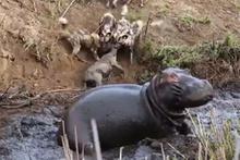 Hipopotamın gazabına uğrayan vahşi köpekler