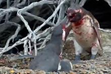 Eşini kıskanan penguenin kanlı kavgası