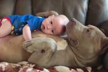 Pitbull'un kucağında uyuyan bebek