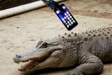 iPhone 7'yi timsah ısırırsa ne olur?