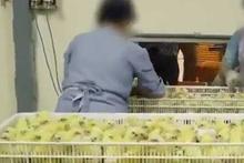 Bu görüntü insanı tavuk yemekten soğutur!