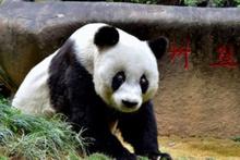Dünyanın en yaşlı pandası Basi hayatını kaybetti