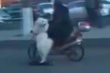 Otoyolda scooter kullanan köpek