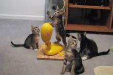 Yavru kedileri çileden çıkartan oyuncak