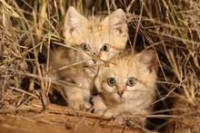 Vahşi doğada ilk defa görüntülenen kum kedisi yavruları