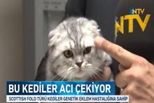 Bu kedi cinsi, doğduğu andan itibaren acı çekiyor