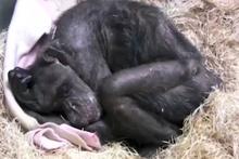 Ölüm döşeğindeki şempanze herkesi ağlattı!