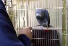 Köpek gibi havlayan sevimli papağan