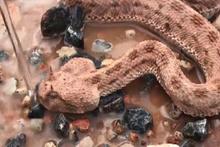 Ölmek üzere olan yavru engerek yılanını böyle kurtardı!