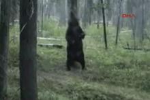 Sırtını ağaçla kaşıyan bozayı viral oldu