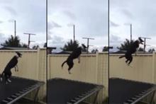 Dışarıyı görmek için trambolinde zıplayan köpek