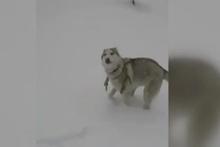 Sibirya Kurdu Rosha'nın ilk kar sevinci
