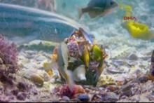 Ahtapot köpekbalığını böyle kandırdı