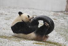 Karla tanışan pandanın sevinçli anları