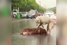 Arkadaşı ölen köpeğin hıçkıra hıçkıra ağlaması yürek burkuyor