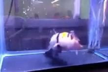 Boyu kadar balığı tek hamlede yutan katil balık