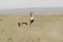 Sırtlanın yavru antilop avı kamerada