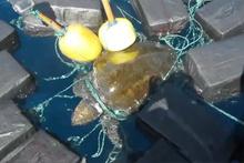 Kaplumbağaya bağlı 816 kg kokain bulundu!