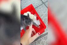 Evcil fare sahibine yavrusunu gösteriyor