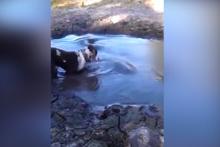 Timsahın şoke eden köpek avı kamerada!