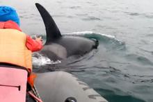 Meraklı bebek katil balina ile duygusal karşılaşma