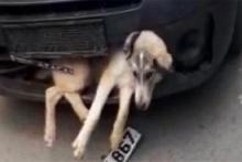 Akıl almaz görüntü! Tampona sıkışan yaralı köpekle...