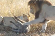 Avını öldüren dişiyle çiftleşmek isteyen erkek aslan