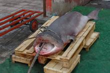 Marmara Denizi'nde çıkan balığa bakın!