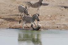 Yavru zebrayı öldürmeye çalışan sürü lideri