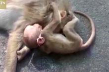 Ölen annesinin yanında yas tutan bebek maymun