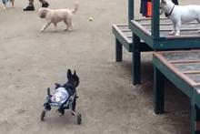 Felçli köpeğe tekerlekli sandalyeyle çözüm buldular