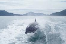 Teknenin peşinden giden yunusların muhteşem anları