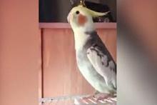 Türkiyem şarkısını mırıldanan papağan