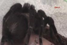 Terör operasyonu düzenlenen evde tarantula çıktı!