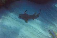 Köpek balığının kafasındaki bıçağı çıkartan dalgıç