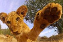 Çaldığı kamerayla kısa belgesel çeken aslan
