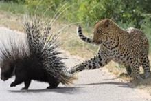 Leoparın kirpi avı kötü bitti