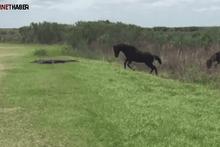 Atlara saldıran timsahın hazin sonu !